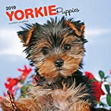 Yorkie Puppies 2019 12 x 12 Inch Monthly Square Wall Calendar, Animals Small Dog Breeds Yorkshire Terrier