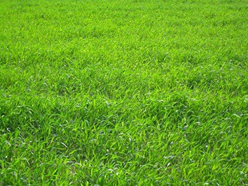 Perennial Ryegrass Seed Blend (500 sq ft)