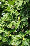 Home Comforts Laminated Poster Papaya Tree Papaya Fruits Tree Unripe Papaya Poster Print 24 x 36