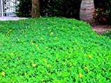 Ornamental Peanut Grass - Arachis Glabrata - 60 Live Plants - 2'' Pot Size - Fully Rooted Drought Tolerant Ground Cover