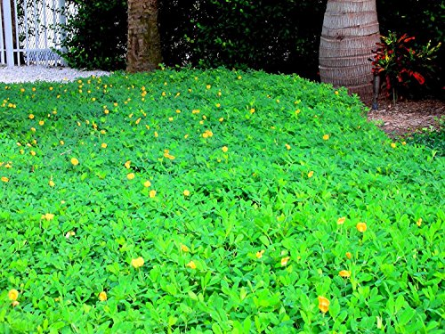 Ornamental Peanut Grass - Arachis Glabrata - 60 Live Plants - 2'' Pot Size - Fully Rooted Drought Tolerant Ground Cover by Florida Foliage (Image #9)