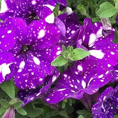 Kalash Nuevas 200 PC del jardín de DIY las semillas de flor de la ...