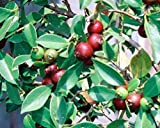 LovelyGarden STRAWBERRY GUAVA - Psidium littorale, Tropical Fruit Tree, Can Grow in Pots