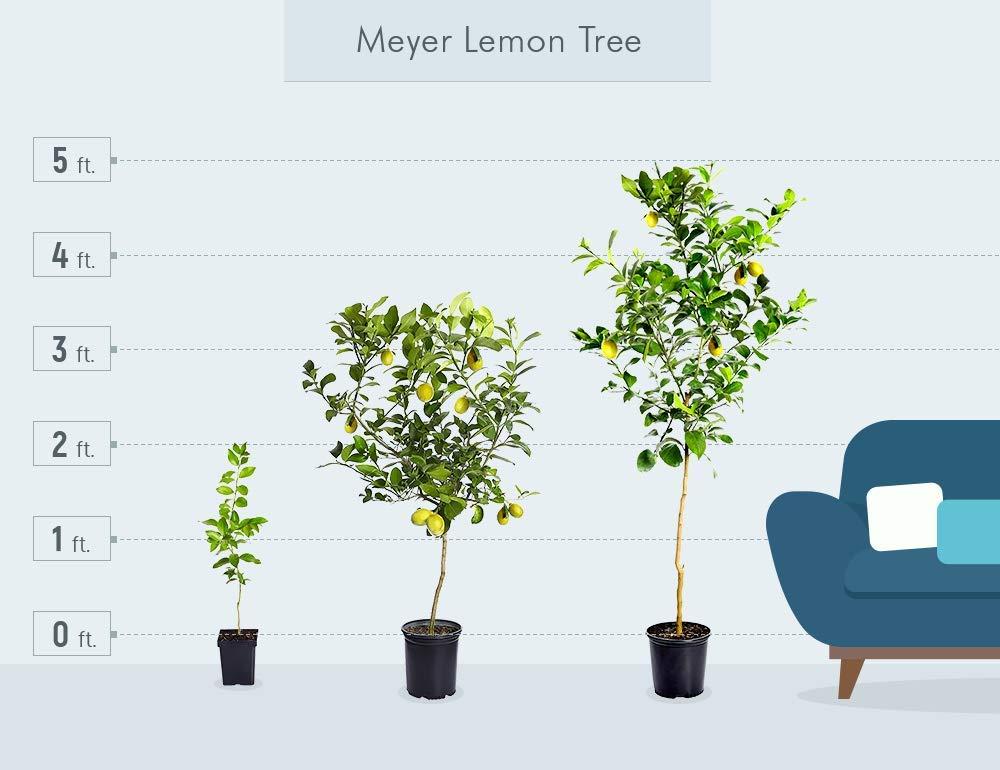 Amazon.com: Limonero Meyer Brighter Blooms mejorado, crece ...
