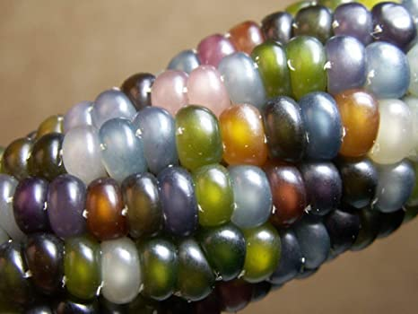 45 SEEDS SWEETCORN Rainbow Multicoloured Corn Grain Kernels Colour Free Postage