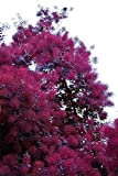 Purple Smoke Tree - 2 to 3' Tall Seedling. Purple leaves and flowers, live plant
