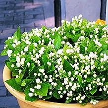 20pcs Jasmine Flower Jasminum Sambac Seeds