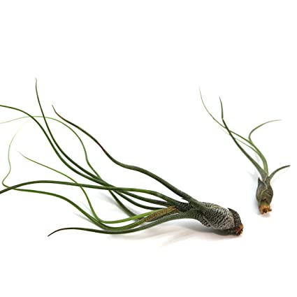 Amazon Com 5 Pack Of Butzii Air Plants 30 Day Guarantee Fast