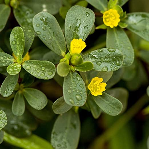 MOCRIS Orgullo Exterior Verdolaga Planta Semilla de Flores Comestibles Súper Ensalada Verdes: Amazon.es: Jardín