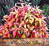BULK Heavenly Bamboo - GROWS TO 8 FEET TALL - Nandina domestica - ZONES 6 AND UP