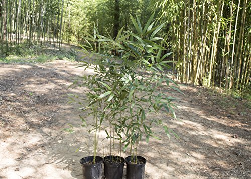 Giant Timber Screening Bamboo - Phyllostachys Nigra 'Giant Gray' (2 Gallon (3-4' (Hardy Bamboo)