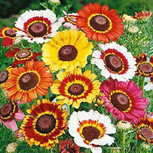 (Painted Daisy,organic 50+ Seeds, Beautiful Mulit Colored)