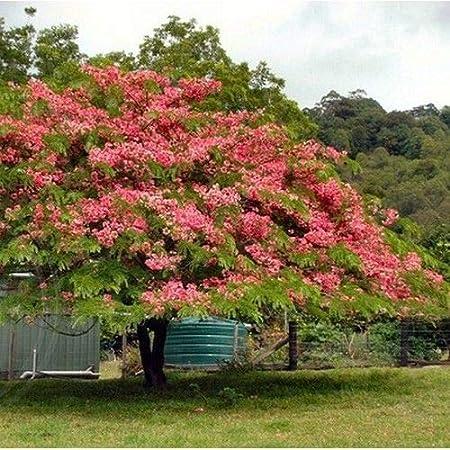 Amazon Com Apple Blossom Cassia Tree Seeds Cassia Javanica 100