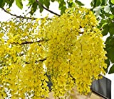 10 Seeds of Cassia Fistula - Golden Shower Tree