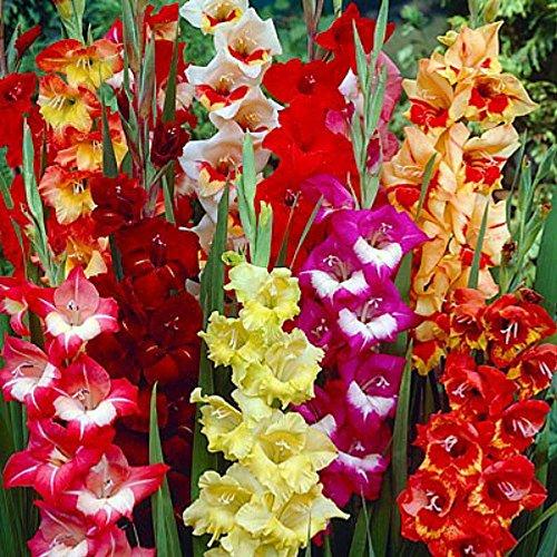 Gladiolus Mix - 'Parrot Mix' Gladiolus 8 Bulbs - Super Value! 12/14 cm
