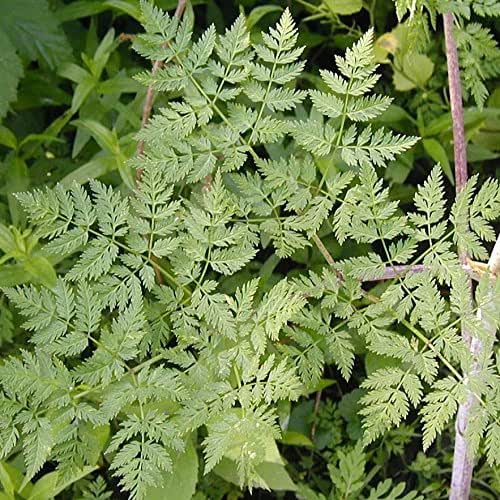 Poison Hemlock Seeds (Conium maculatum) 30+ Medicinal Herb Seeds in FROZEN SEED CAPSULES for The Gardener & Rare Seeds Collector - Plant Seeds Now or Save Seeds for Years