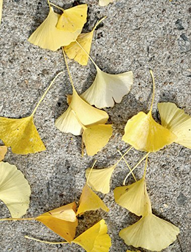 Amazon.com: Grey and Yellow Wall Art, Ginkgo Biloba Autumn Leaves on ...