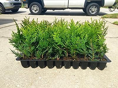 Thuja Green Giant Arborvitae Qty 60 Live Plants Privacy Hedge