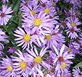 New England Aster Seeds - Symphyotrichum novae-angliae Seed ~ Perennial in Zone 3-9 - by MySeeds.Co (Packet Size (300 Seeds))