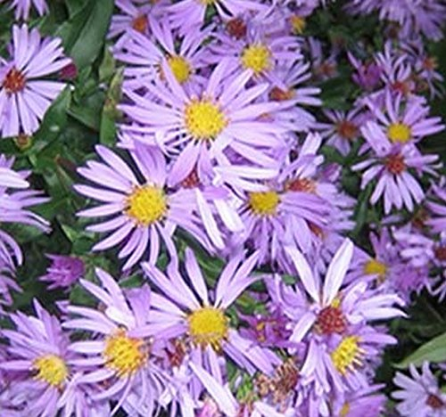 New England Aster Seeds - Symphyotrichum novae-angliae Seed ~ Perennial In Zone 3-9 - By MySeeds.Co (4 x Packet Size (300 Seeds Per ()