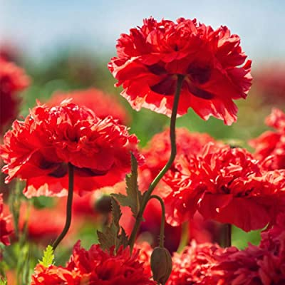 100 pcs Bulb Red Carnation Seeds, Easy to Grow Flowers Balcony Potted Plant Home Garden Decor Outdoor Indoor Plants : Garden & Outdoor