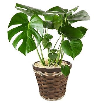 Amazon|観葉植物 モンステラ イ...