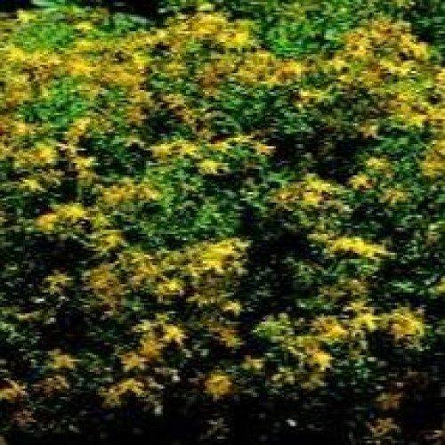 Herb Seeds - St John's Wort - 1000 Seeds Nuts n' Cones