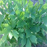 Lovage Seeds (Levisticum officinale) 100+ Rare Medicinal Herb Seeds in FROZEN SEED CAPSULES for the Gardener & Rare Seeds Collector - Plant Seeds Now or Save Seeds for Years