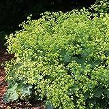Alchemilla mollis Ladys Mantle - 2 plants