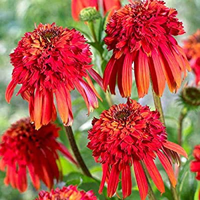 Saavyseeds Hot Papaya Coneflower Seeds - 55 Count