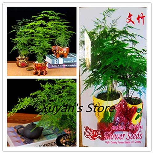 Go Garden True Asparagus Fern Seeds(Asparagus Setaceus) Small Bamboo Bonsai Setose Asparagus Plants Clean The air Potted Factory Package