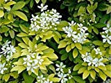 CHOISYA 'SUNDANCE'- FRAGRANT - PLANT - APPROX 3 INCH