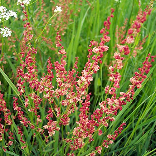Sheep Sorrel Seeds (Rumex acetosella) 100+ Rare Medicinal Herb Seeds in FROZEN SEED CAPSULES for the Gardener & Rare Seeds Collector - Plant Seeds Now or Save Seeds for (Sheep Sorrel Weed)