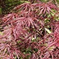 (1 Gallon) TAMUKEYAMA Japanese Maple-a GORGEOUS upright, Attractive LACE-LEAF foliage, which is a deep crimson red but soon turns to a dark-purple red,fall color is a bright scarlet