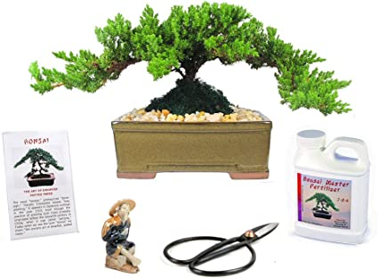 Amazon Com Eve S Japanese Juniper Bonsai Tree Gift Kit 8 Years Old Japanese Juniper Complete Bonsai Gift Kit Includes Fertilizer Figurine And Clippers Beautifully Gift Wrapped Outdoor Bonsai Garden Outdoor