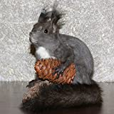 SIBERIAN GREY SQUIRREL - TAXIDERMY MOUNT, STUFFED ANIMAL FOR SALE - GRAY SQUIRREL