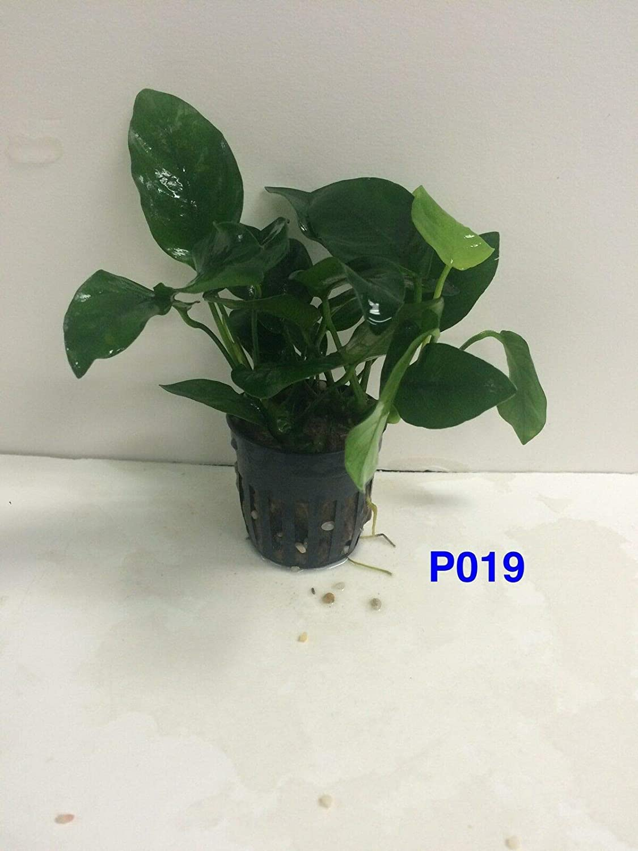 HATCHMATIC Germination Seeds Anubias Nana Potted Live Aquatic Fresh Water Plant P019