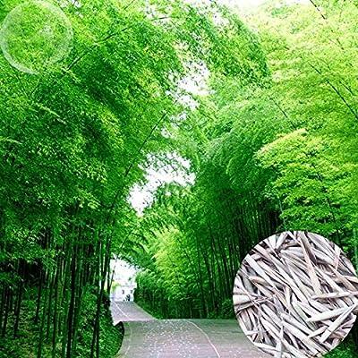 YoYoBoo DD 2016 Fast Growing High Anhui Dabie Mountain Moso Bamboo : Garden & Outdoor