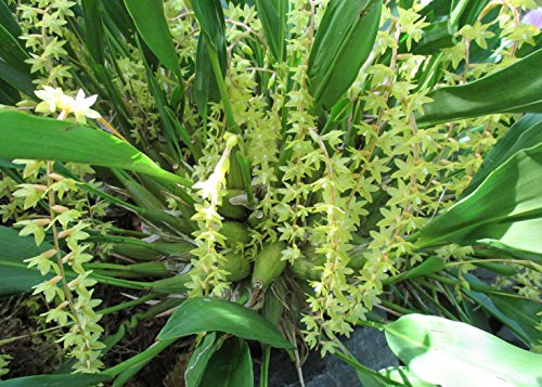 Dendrochilum filiforme produces a fountain of yellow pendant inflorescence with tiny flowers.: Orchid