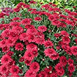 New Dendranthema Grandiflorum Groud-cover Chrysanthemum Perennial Flower E4462UxR2 250+ Seeds