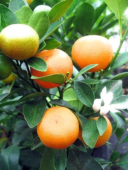 Raj Garden Plants Chinese Calamondin Orange Live Plant: Amazon.in ...