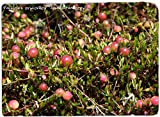 HIGH Germination Seeds ONLY NOT Plants: Vaccinium Oxycoccos 'Small Cran' [Ex. Estonia] 30 Seeds