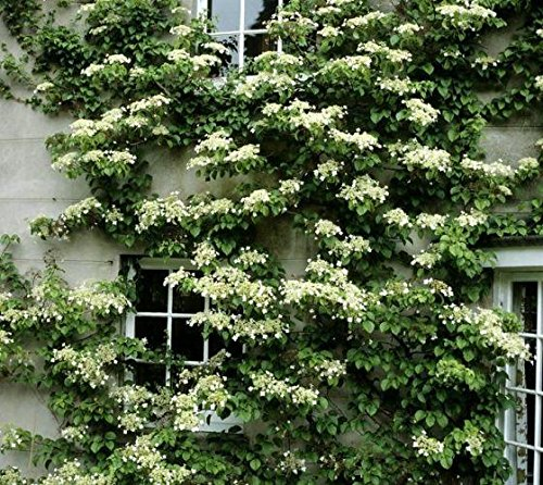 Seemannii Evergreen Climbing Hydrangea - Live Plant - Quart Pot