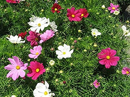 Cosmos Mixed Bedding Plants 12 Garden Ready Plants Amazon Co Uk Beauty