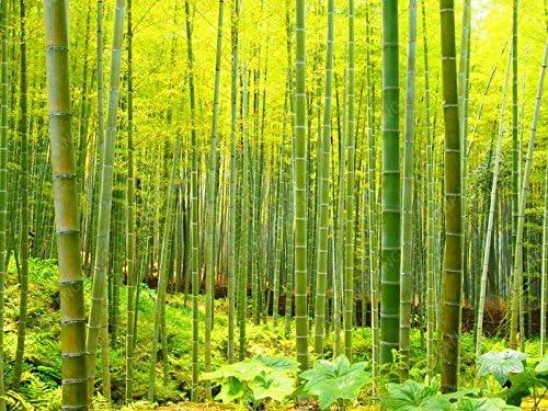 50pcs / bag fresco de bambú Moso Semillas Semillas de árbol gigante Moso bambú para DIY jardín de la planta: Amazon.es: Jardín