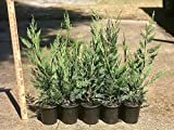 Leyland Cypress Quantity 12 Qt Size Live Plants Evergreen Privacy Trees