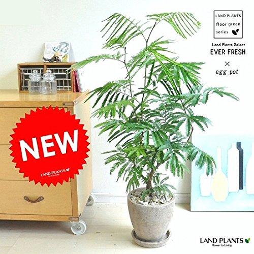 LAND PLANTS 【観葉植物】 エバーフレッシュ (茶色エッグポット) B06WWJT1KJ
