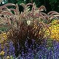"Purple Fountain Grass - Pennisetum rubrum - 4.5"" Pot"