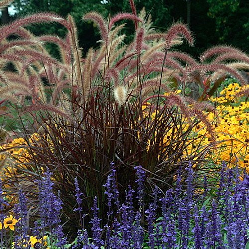 Purple Fountain Grass - Pennisetum rubrum - Quart Pot