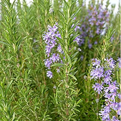 Rosemary Herb Plant Hardy Rosemary Grown Organic USA Great Container Herb